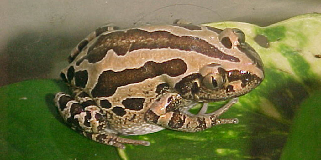 Bubbling Kassina frog (Kassina senegalensis)