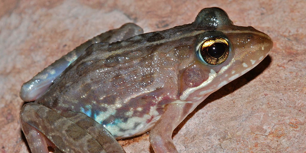 Common River Frog (A angolensis)