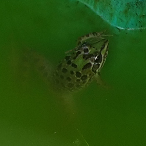 Common River Frog (Afrana angolensis)
